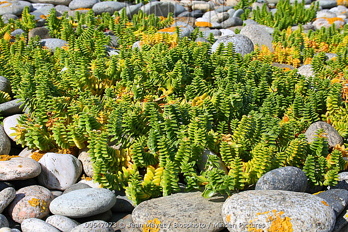Sea Sandwort (Honckenya peploides), Finistere, France