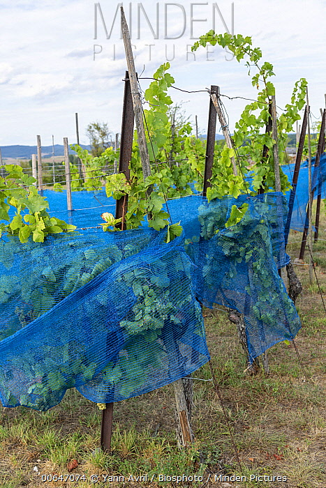Protection nets against birds on grapevines, Bouxwiller, Alsace, France