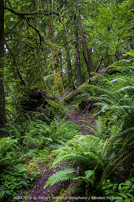 Trail through temperate forest, Cascade Mountains, Oregon