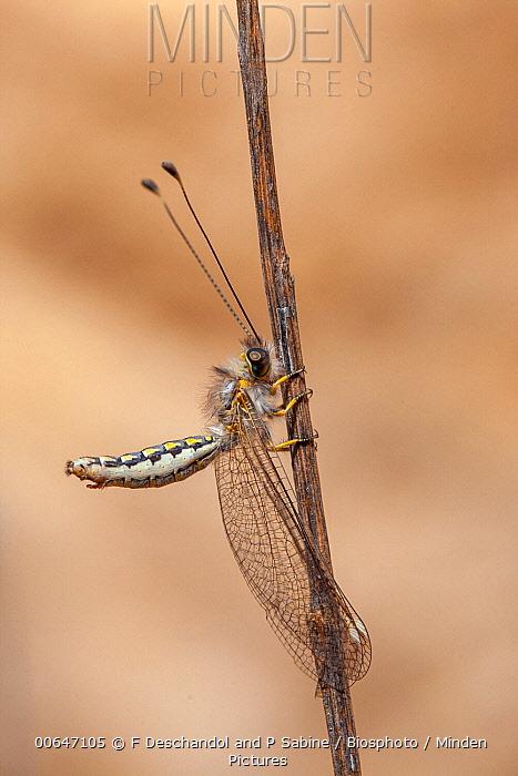Owl Fly (Ascalaphidae), Iran
