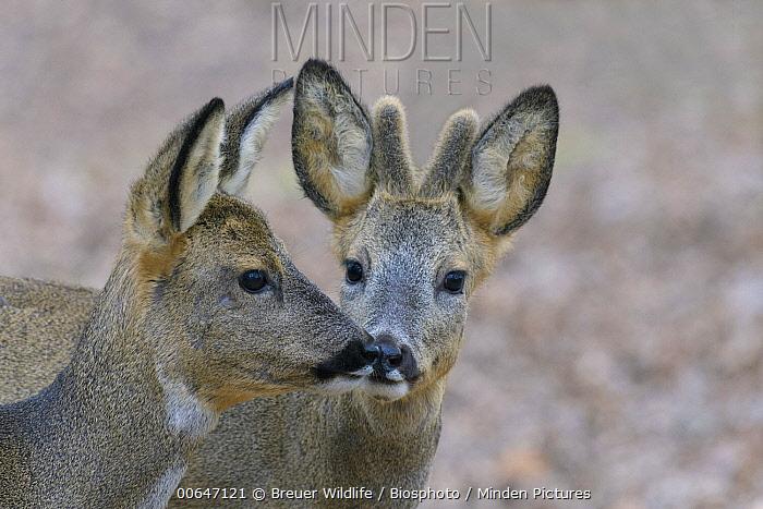 Western Roe Deer (Capreolus capreolus) female and male nuzzling, Germany