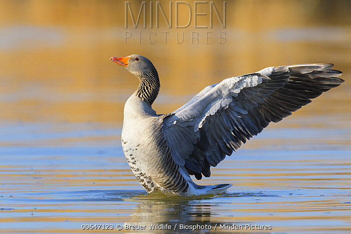 Greylag Goose (Anser anser) flapping wings, Germany