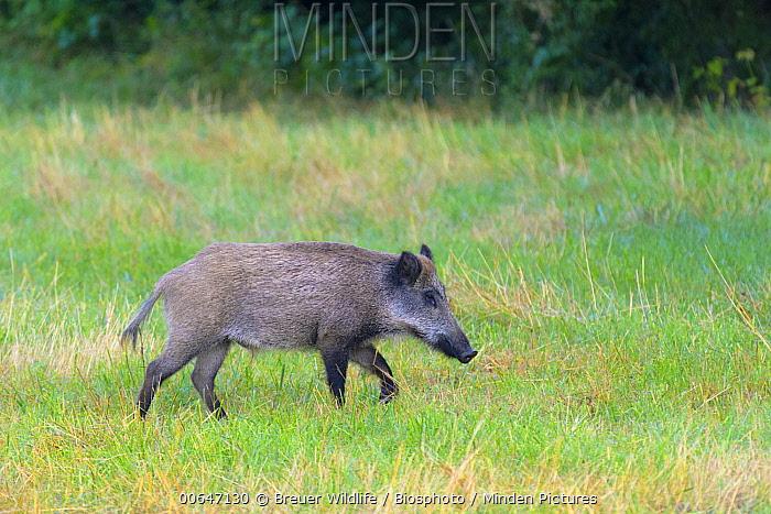 Wild Boar (Sus scrofa) juvenile, Germany