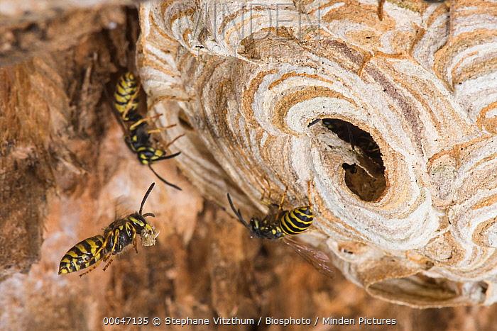 Common Wasp (Vespula vulgaris) group at nest, Burgundy, France