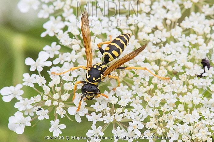 Paper Wasp (Polistes sp) on Carrot (Daucus carota) flowers, Lorraine, France