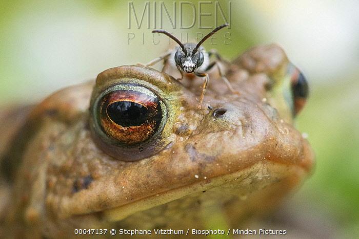 European Toad (Bufo bufo) with Halictid Bee (Sphecodes sp) on its head, Rhorschollen Reserve, Alsace, France