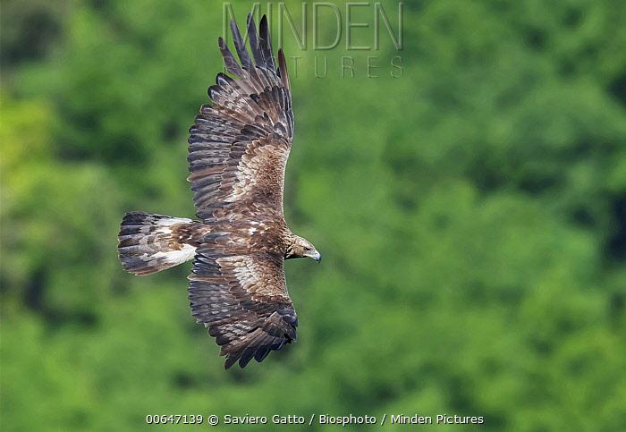 Golden Eagle (Aquila chrysaetos) male flying, Campania, Italy