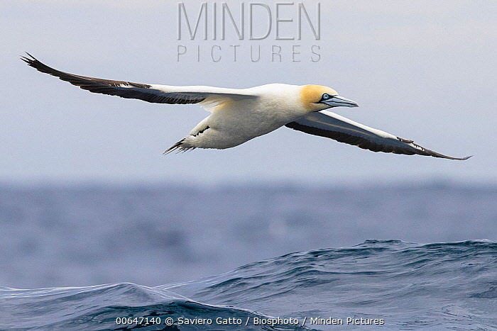 Cape Gannet (Morus capensis) flying, Western Cape, South Africa
