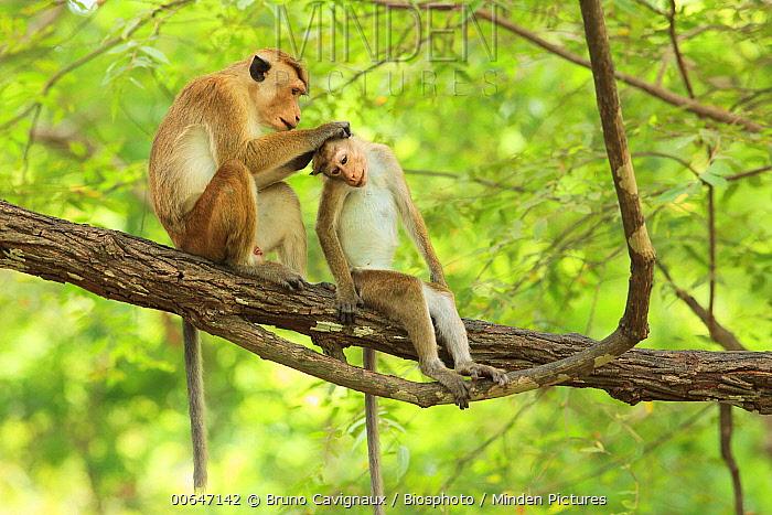 Toque Macaque (Macaca sinica) pair grooming, Sri Lanka