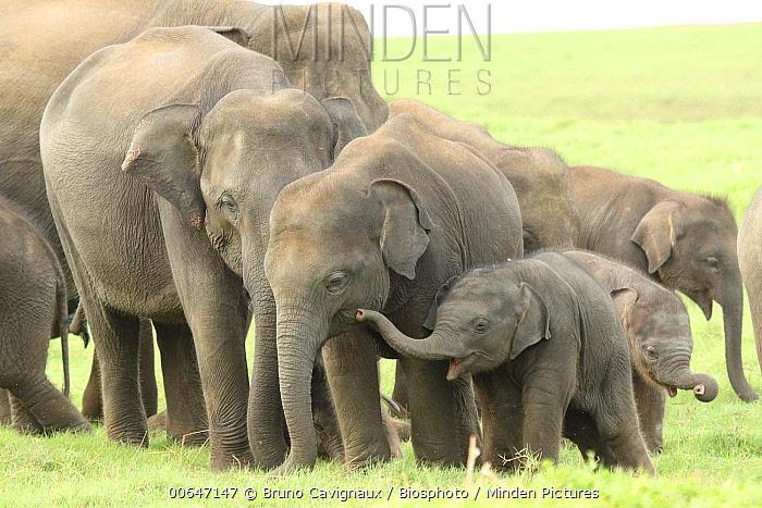 Asian Elephant (Elephas maximus) herd with young calves, Sri Lanka