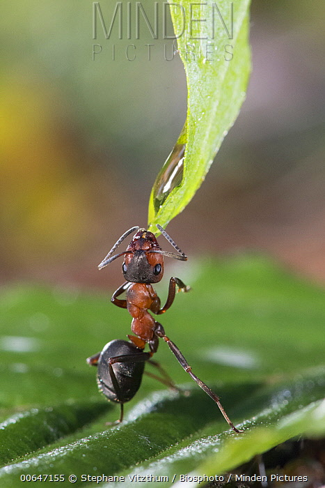European Red Wood Ant (Formica polyctena) drinking from water droplet, Lorraine, France