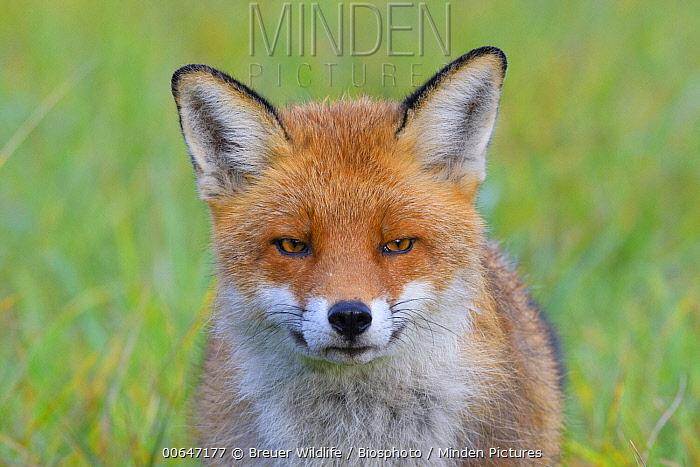 Red Fox (Vulpes vulpes), Germany