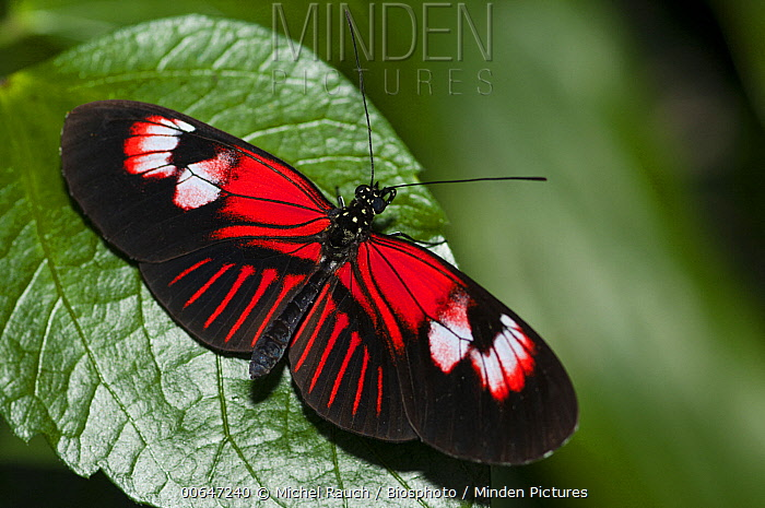 Crimson-patched Longwing (Heliconius erato) butterfly, native to South America