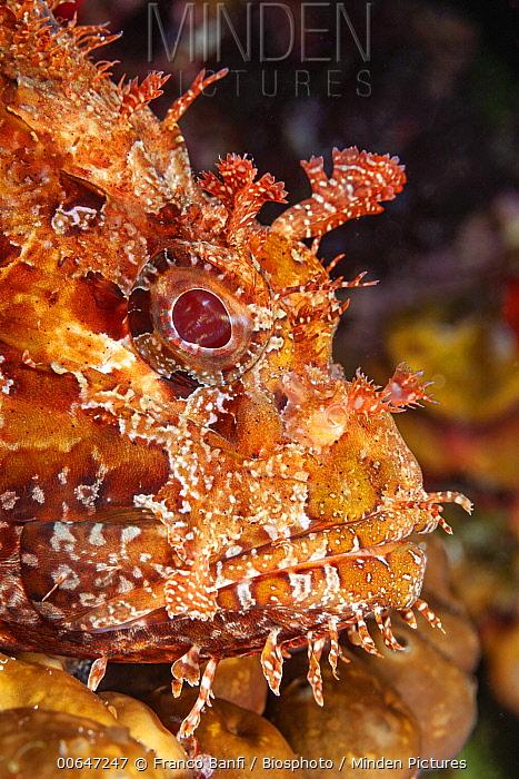 Bigscale Scorpionfish (Scorpaena scrofa), Ponza Island, Italy