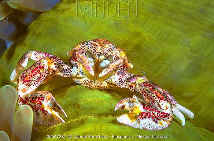 Porcelain Anemone Crab (Neopetrolisthes ohshimai) and sea anemone, Raja Ampat, Indonesia