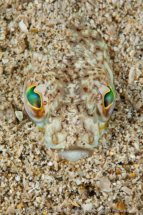 Greater Weever (Trachinus draco) camouflaged in sand, Sorrento Peninsula, Italy