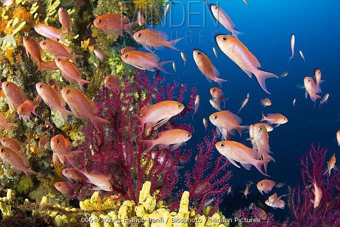 Swallowtail Sea Perch (Anthias anthias) shoal, Sorrento Peninsula, Italy