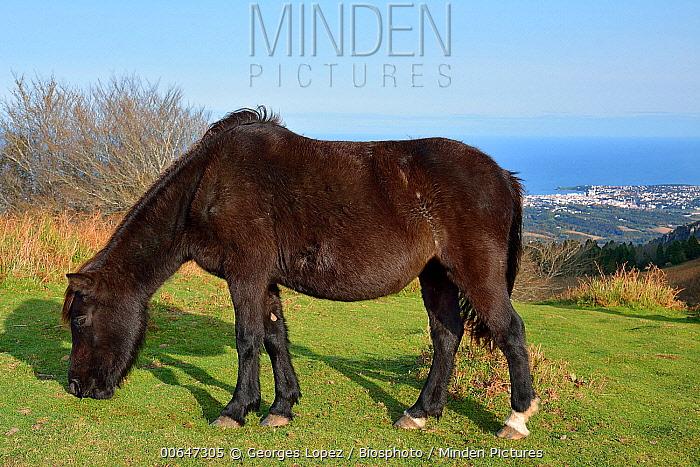Domestic Horse (Equus caballus) grazing, Saint-Jean-De-Luz, Basque Country, France
