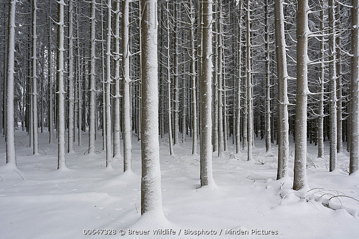 Spruce (Picea sp) forest in winter, Hesse, Germany