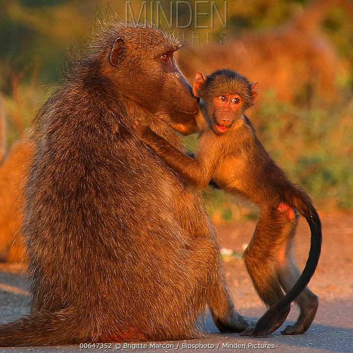 Yellow Baboon (Papio cynocephalus) juvenile being reassured by mother after being frightened, Kruger National Park, South Africa