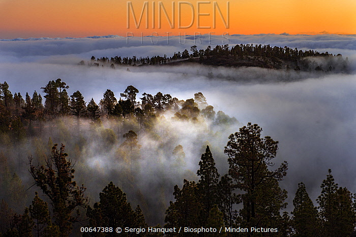Trees in clouds, Teide National Park, Tenerife, Canary Islands, Spain