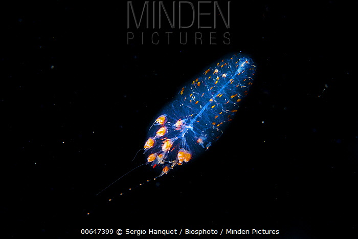Zooplankton, Canary Islands, Spain