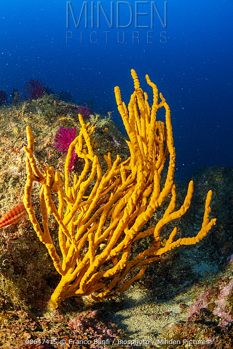 Sponge (Axinella cannabina), Punta Campanella Marine Reserve, Sorrento Peninsula, Italy