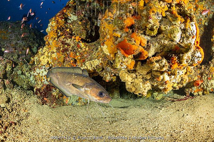 Forkbeard (Phycis phycis) at coral reef, Punta Campanella Marine Reserve, Sorrento Peninsula, Italy