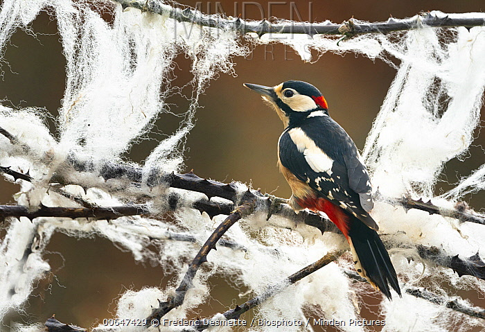 Great Spotted Woodpecker (Dendrocopos major) on brambles covered wtih sheep wool, England