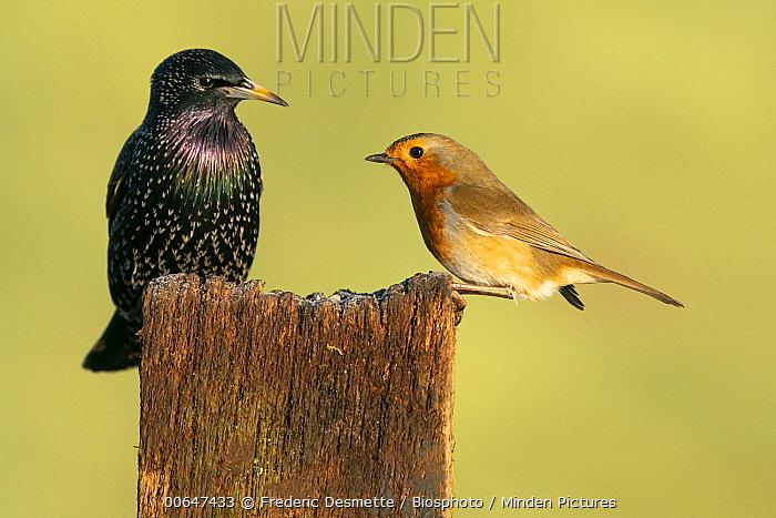 Common Starling (Sturnus vulgaris) and European Robin (Erithacus rubecula), England