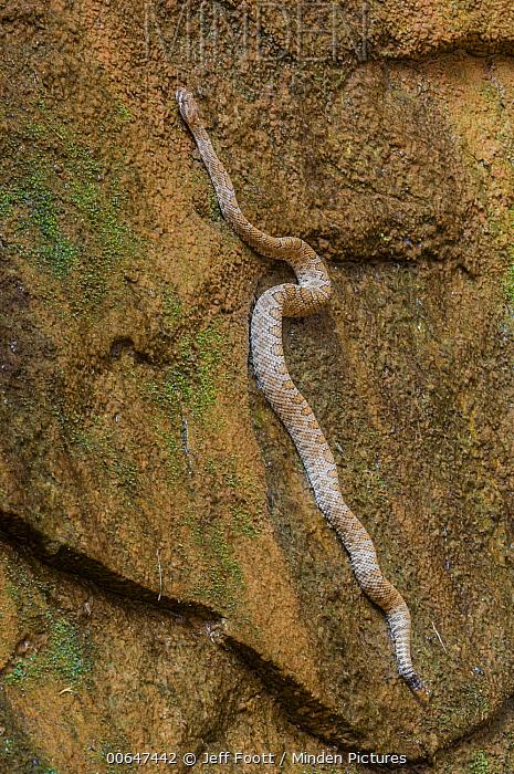 Western Rattlesnake (Crotalus viridis) climbing cliff, Lake Powell, Glen Canyon National Recreation Area, Utah