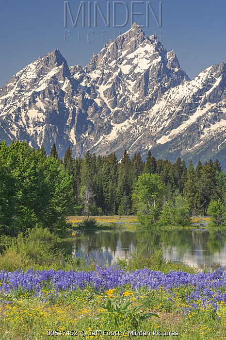 Lupine (Lupinus sp) flowers and mountains, Grand Teton National Park, Wyoming
