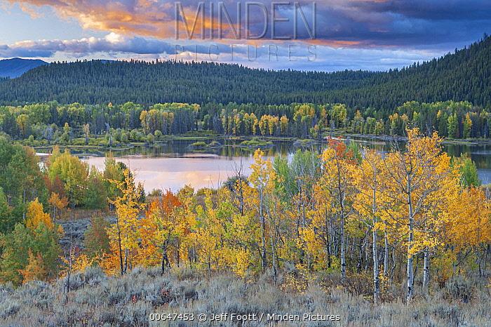 Quaking Aspen (Populus tremuloides) trees along river, Grand Teton National Park, Wyoming