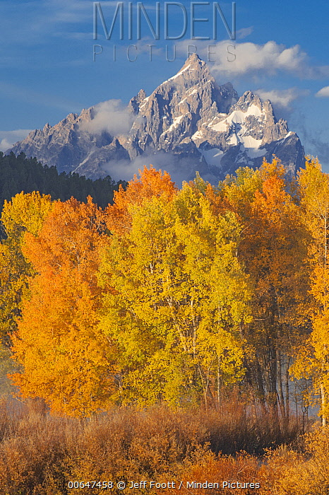 Quaking Aspen (Populus tremuloides) trees in autumn and mountains, Grand Tetons, Grand Teton National Park, Wyoming