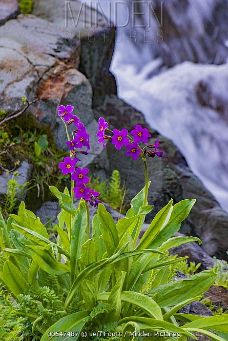 Parry's Primrose (Primula parryi) flower, Rocky Mountains, Colorado