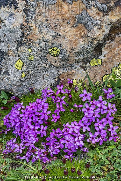 Moss Campion (Silene acaulis) flowers, Mount Evans, Colorado