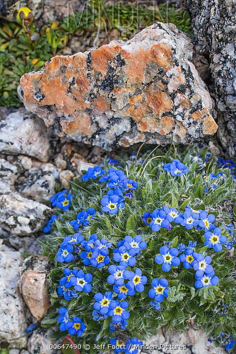 Alpine Forget-me-not (Eritrichium aretoides) flower, Mount Evans, Colorado