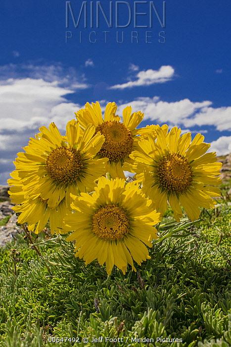 Graylocks Four-nerve Daisy (Tetraneuris grandiflora) flowers, Rocky Mountain National Park, Colorado