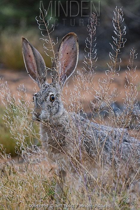 Black-tailed Jackrabbit (Lepus californicus), Lake Powell, Glen Canyon National Recreation Area, Utah