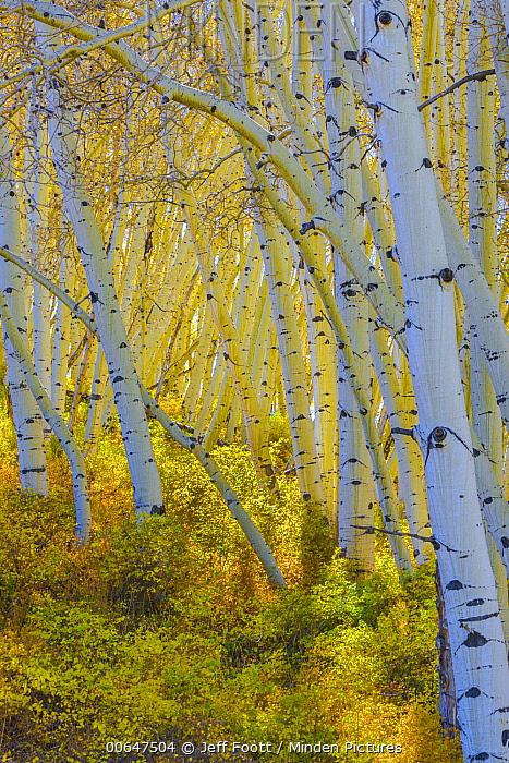 Quaking Aspen (Populus tremuloides) grove, Uncompahgre National Forest, Colorado