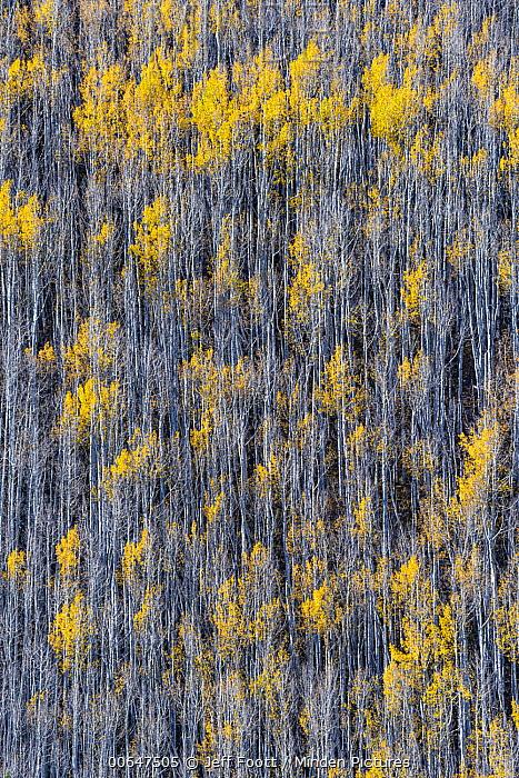 Quaking Aspen (Populus tremuloides) forest, Uncompahgre National Forest, Colorado