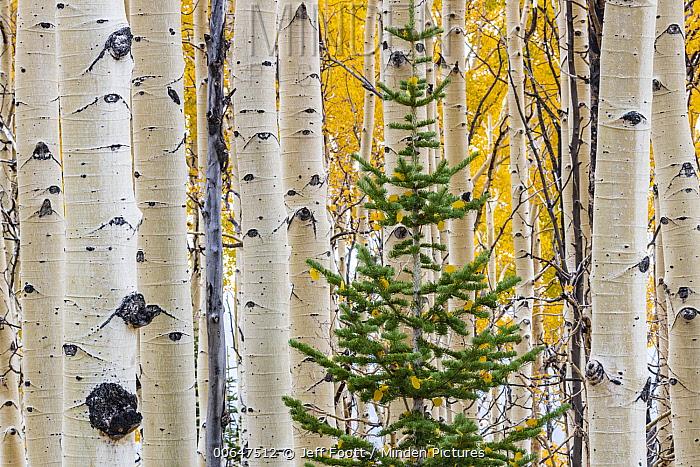 Quaking Aspen (Populus tremuloides) grove and conifer, Grand Staircase-Escalante National Monument, Utah