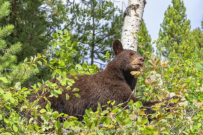 Black Bear (Ursus americanus) feeding, Grand Teton National Park, Wyoming