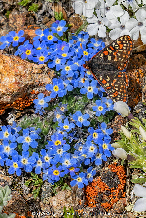 Checkerspot Butterfly (Euphydryas sp), Rocky Mountains, Wyoming