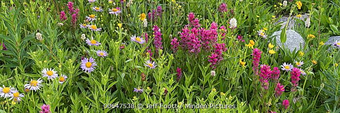 Splitleaf Indian Paintbrush (Castilleja rhexifolia) and Rocky Mountain Alpine Fleabane (Erigeron grandiflorus) flowers, Yellowstone National Park, Wyoming