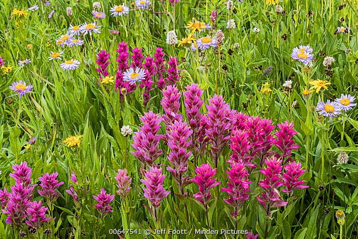 Splitleaf Indian Paintbrush (Castilleja rhexifolia) flowers, Yellowstone National Park, Wyoming