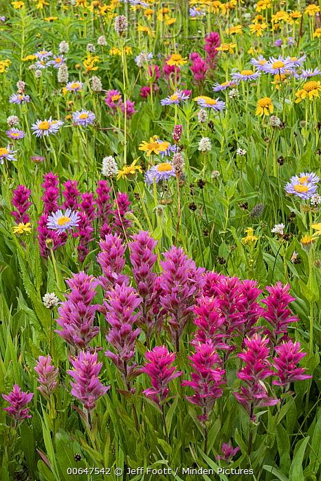 Splitleaf Indian Paintbrush (Castilleja rhexifolia) flowers, Rocky Mountains, Wyoming