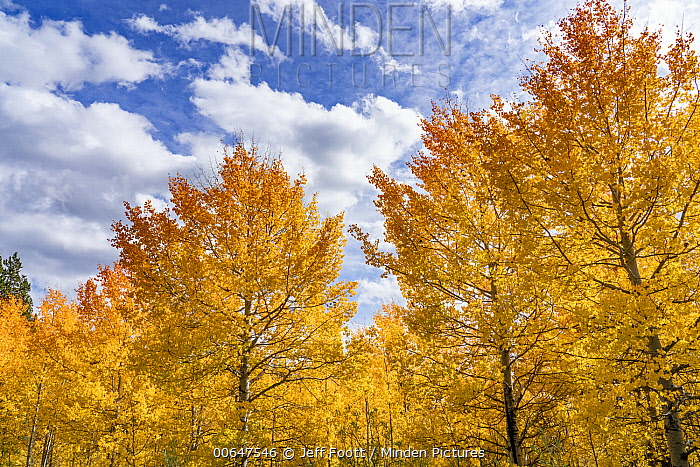 Quaking Aspen (Populus tremuloides) trees in autumn, Grand Teton National Park, Wyoming