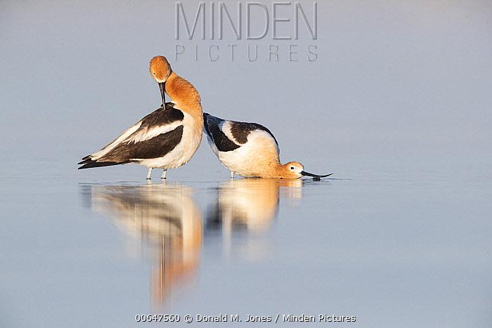 American Avocet (Recurvirostra americana) pair courting, Montana