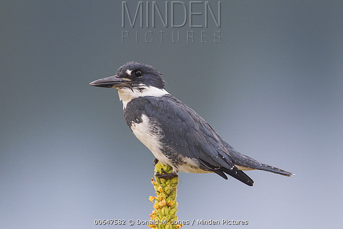 Belted Kingfisher (Megaceryle alcyon) male, Montana